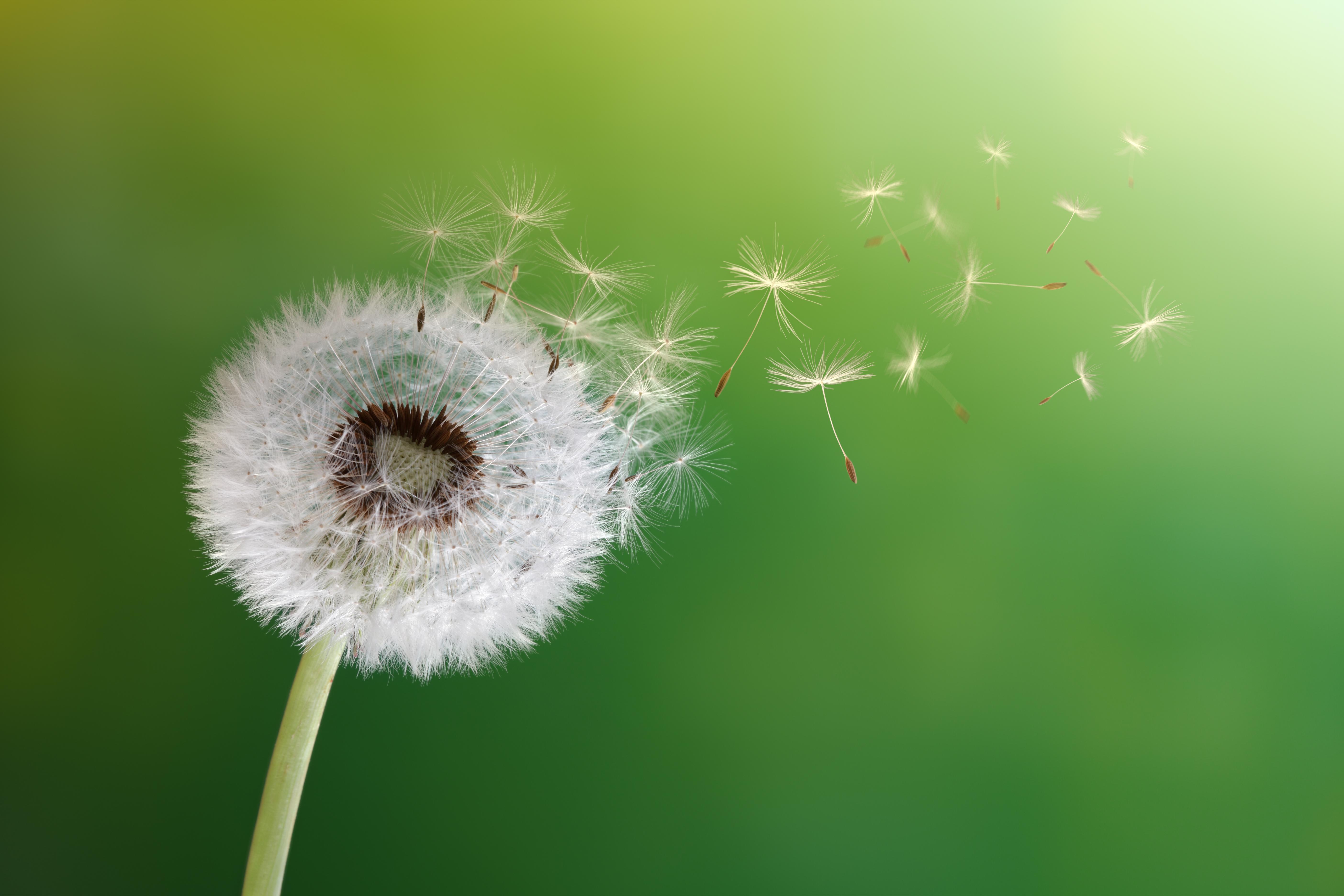 Imagen de la flor llamada diente de león